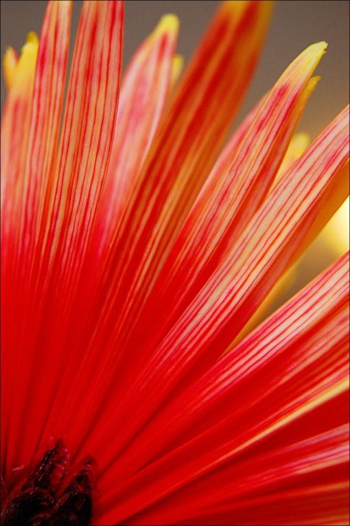 Reach for the Sun - Firework Chrysanthemum