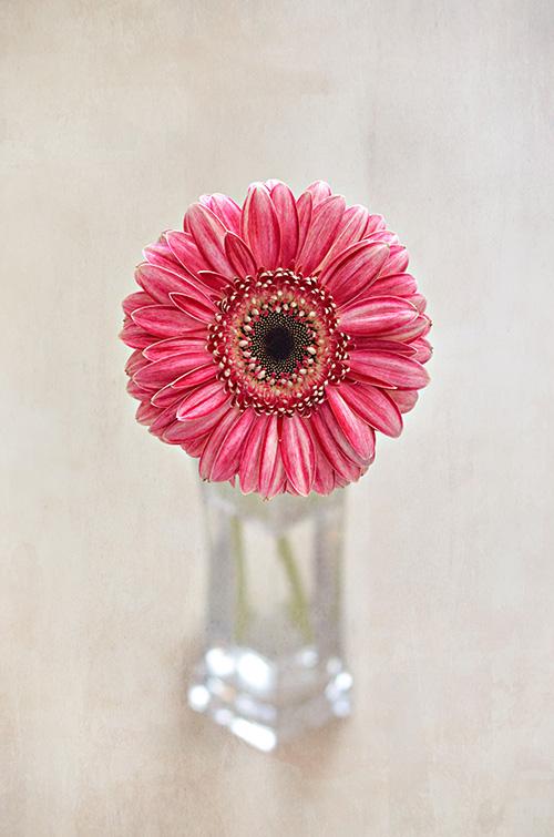 pink chrysanthemum photo